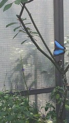 Blue Morph and Piano Key butterflies @Butterfly World (h2kyaks) Tags: coconutcreek butterflyworld