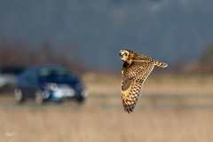 Short-eared Owl III (dennis_plank_nature_photography) Tags: avianphotography shortearedowl birdphotography naturephotography skagit wa avian birds nature