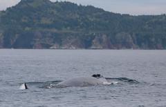 Fin Whale Blowhole (peterkelly) Tags: digital canon 6d northamerica canada newfoundlandlabrador shoreline shore coast coastline water whale trinitybay fin blowhole finwhale