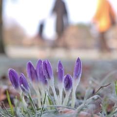 Freezing walk in Kensington Gardens, London..... (markwilkins64) Tags: crocus crocuses purple bokeh ice frost winter markwilkins park flowers nature grass pov kensingtongardens london