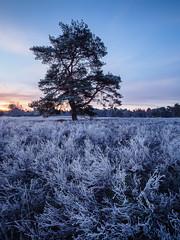Before sunrise (wiscmic) Tags: olympus deutschland sunrise landschaft heath germany naturschutzgebiet natur bäume trees haltern baum tree landscape olympusomd heide sonnenaufgang olympusomdem10mkii nsg em10mkii westruperheide nature halternamsee nordrheinwestfalen de