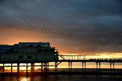 Starlings coming home to roost.... (karen leah) Tags: starlings murmuration flight bird group nature wildlife outdoors sunset dusk aberystwyth ceredigion pier cardiganbay winter