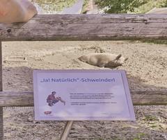 """Domestic Pig - retired actor - this pig enacted a talking piglet: TV advertisment spots for bio products """"Ja! Natürlich"""" (Yes! Naturally / Yes! of course) eines der Ja! Natürlich Schweinderln im Ruhestand (hedbavny) Tags: schwein sau schweinderl ferkel pig pension pensionist suhlen schlamm gatsch suhle wasser water hausschwein haustier bauernhof museum erde sand holz holzbrett zaun absperrung hand mann man schild beschriftung erläuterung erklärung bild ja natürlich bauer farmer actor schauspieler werbung werbekampagne marke advertisment logo brand baum tree blätter green grün rosa pink braun beige schweinderlrosa zuckerlrosa billa merkur rewe rewegroup reweinternational bio biologisch bioprodukt organic wien vienna austria österreich hedbavny"""
