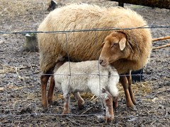 through a fence (BrigitteE1) Tags: schaf lamm lamb babyelefant sebaldsbrück rain sheep ewe hff fence fencefriday