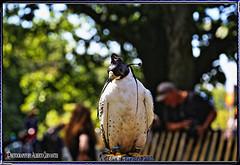 HALCÓN GERIFALTE. GYRFALCON. FALCON RUSTICOLUS. NEW YORK CITY. (ALBERTO CERVANTES PHOTOGRAPHY) Tags: animal bird ave pajaro halcon falcon indoor outdoor blur macro closeup bokeh luz light color colores colors brightcolors brillo bright streetphotography photography photoborder people