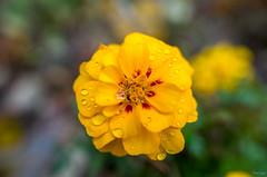 Marigold (Phet Live) Tags: phet live macro ricoh gr raynox dcr 250