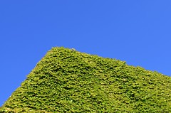ivy (stephen trinder) Tags: stephentrinder stephentrinderphotography christchurch christchurchnewzealand aotearoa godzone kiwi landscape sky ivy building uc universityofcanterbury foliage green leaves texture sunlight contrast growth spring plants architecture