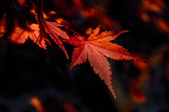 Autumn leaves (Hiro_A) Tags: autumn autumnleaves maple besshi ehime shikoku japan red niihama nikon d7200 sigma 1770mm 1770