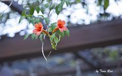 SHF_3855_Flower (Tuan Râu) Tags: 1dmarkiii 14mm 100mm 135mm 1d 1dx 2470mm 2018 50mm 70200mm canon canon1d canoneos1dmarkiii canoneos1dx flowers hoa hanoi dof bokeh tuanrau tuan tuấnrâu2018 râu httpswwwfacebookcomrautuan71