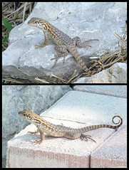 2018-11-11 curly tailed lizard (clarinetgirl) Tags: floridakeys 20181111 curlytailedlizard