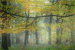 Early-morning Haze - Morgendunst (her035) Tags: blätter buchen herbst nebel dunst nature natur outdoor niederrhein weeze buchenwald beechwood autumn fall haze mist forest wald wood