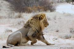 Kalahari Desert Lion (leendert3) Tags: leonmolenaar southafrica kgalagaditransfrontierpark wildlife nature mammals africanlion ngc npc