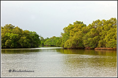 8378 - mangrove forest, Muthupet (chandrasekaran a 55 lakhs views Thanks to all.) Tags: mangroveforest lagoon muthupet tamilnadu india canon60d avicennia kaja cyclone அலையாத்திகாடுகள்
