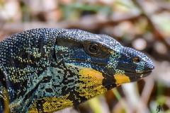 Lace monitor (SuzieAndJim) Tags: monitor lizard lacemonitor goanna naturephotography nature animals color colour yellow suzieandjim