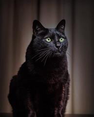 The spirit of bastet (Pepenera) Tags: cat cats gatto gato gatti black blackbeauty blackcat portrait