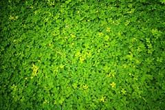 IMG_20160617_140140-01 (Wai Yan Linn Htoon) Tags: green leaves yangon myanmar kyaing tong shan state