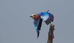 Lilac-breasted Roller -9316 (Theo Locher) Tags: birds coraciascaudatus gewonetroupant lilacbreastedroller oiseaux vogels vögel zuidafrika southafrica krugernationalpark kruger copyrighttheolocher