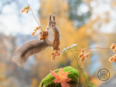 red squirrel standing on a branch with leaves (Geert Weggen) Tags: animal autumn bright bud cheerful closeup cute flower foodanddrink horizontal humor land lightnaturalphenomenon mammal moss mushroom nature perennial photography plant red rodent springtime squirrel summer sweden fun fight fall couple young heath branch leaves fern reach camouflage rock geert weggen bispgården jämtland seweden ragunda
