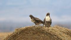 Two On The Hunt (Bill G Moore) Tags: westernredtailhawk birdofprey naturephotography raptor wild wildlife november canon colorado