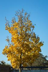Old Yella (Noonski) Tags: old yella tree leaves yellow blue sky amsterdam noord fall herfst