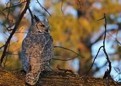 Great Horned Owl...#1 (Guy Lichter Photography - 4.2M views Thank you) Tags: canon 5d3 canada manitoba winnipeg wildlife animal animals bird birds owl owls greathornedowl