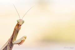 """Eyes wide open"" (regisfiacre) Tags: mante religieuse praying mantis religiosa mantodea mantidae polyneoptera mantoptère bokeh insect insecte insekt bug bugs nature sauvage wild wildlife macro macrophoto macrophotography macrophotographie canon 5div mark iv 4 plein format full frame sigma 150mm apo ex dg os hsm moselle france"