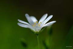 Stellaire (jpto_55) Tags: fleur stellaire macro bokeh fuji fujifilm xe1 omlens om50mmf2macro hautegaronne france