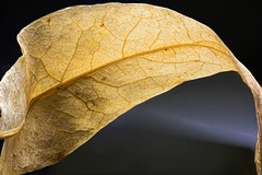 Ein Lindenblatt in Herbstlaune (Pascal Volk) Tags: blatt leaf hoja linde tilia tilo macro makro 65mm closeup nahaufnahme macrodreams bokeh dof depthoffield focusstacking focalplanemerging schärfentiefeerweiterung deepfocusfusion dff apilamientodeenfoque extrememacro herbst fall autumn otoño canoneosr canonmpe65mmf2815xmacrophoto manfrotto mt055xpro3 468mgrc2 novoflexcastelq dxophotolab heliconfocus