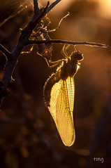 Contraluz madrugador / Backlight early bird (Teo Martínez (temege)) Tags: naturaleza nature insectos insects invertebrados odonatos anisópteros libélulas dragonfly orthetrumcancellatum female hembra amarillo yellow alas fly primavera spring elcoto villena alicante macro macrofotografía closeup nikon 105mm balsa pond