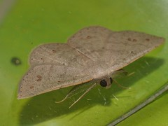 Alphitonia Moth Casbia rosacea Caberini Ennominae Geometridae Airlie Beach rainforest P1460755 (Steve & Alison1) Tags: alphitonia moth casbia rosacea caberini ennominae geometridae airlie beach rainforest