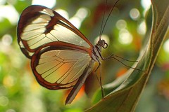 Waldgeist (libra1054) Tags: waldgeist thicktippedgreta gretamorgane schmetterlinge butterflies mariposas farfalle papillons borboletas papallones macro insects insekten insectos insetti insectes