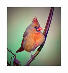 Northern Cardinal (female) (George McHenry Photography) Tags: birds songbirds cardinal northerncardinal southcarolinabirds southcarolina