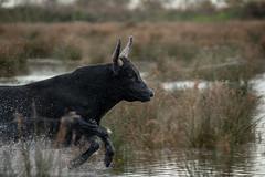 On the Run (MrBlackSun) Tags: camargue black bull nikon d850 south france southfrance