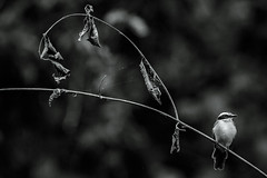 Lesser Kiskadee (Thelma Gatuzzo) Tags: avesbrasileiras birding animalia animaissilvestres ave birds amazônia 2016 fauna oiseau pássarosbrasileiros natureza birdwatching wildlife wild viagem flora travel thelmagatuzzo© bird pássaros oiseaux cristalino animais matogrosso birdsofbrazil altafloresta