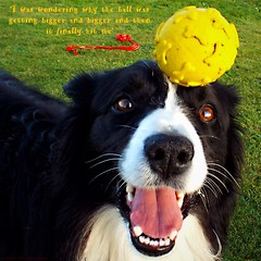 Why is this ball getting bigger and bigger? (ASHA THE BORDER COLLiE) Tags: funny dog picture border collie ball caption ashathestarofcountydown connie kells county down photography
