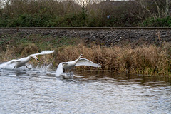 FIGHTING SWANS [ ROYAL CANAL BETWEEN BROOMBRIDGE AND ASHTOWN]-148331 (infomatique) Tags: birds swans fight wildlife nature water canal royalcanal canalwalk sony a7riii batis zeiss 135mmlens williammurphy infomatique fotonique ireland