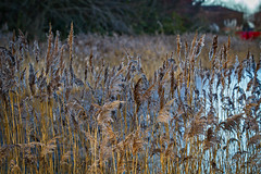 Japanese Gardens 2 (mliebenberg) Tags: winter gardens reeds grass japanesegardens lythamstannes fylde coast fyldecoast lancashire landscapephotography markliebenbergphotography