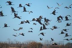 Grues cendrées (Marc ALMECIJA) Tags: grue oiseau bird aves vogel sony rx10m3 nature natur outdoor outside bleu blue wildlife camargue