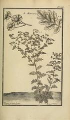 n156_w1150 (BioDivLibrary) Tags: materiamedica pictorialworks newyorkbotanicalgardenluesthertmertzlibrary bhl:page=33501111 dc:identifier=httpsbiodiversitylibraryorgpage33501111 medicinalplants matricaria chamomile