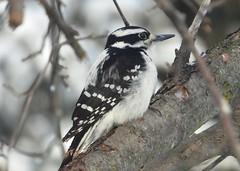 5010e  Woodpecker (jjjj56cp) Tags: bird birds aves woodpecker downywoodpecker female femaledownywoodpecker inthewild winter january feedertree branches dof bokeh black white closeup feathers beak eyegleam p1000 coolpixp1000 nikoncoolpixp1000 jennypansing