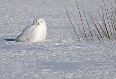Snowy Owl ♂ - Harfang des neiges ♂ - Bubo scandiacus (D72_0010-1PE-20190304) (Michel Sansfacon) Tags: harfangdesneiges snowyowl buboscandiacus nikond7200 sigma150600mmsports