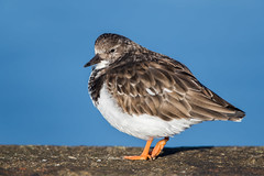 Turnstone (Simon Stobart - Back But Way Behind) Tags: turnstone arenaria interpres north east england uk