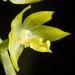 [Taiwan] Dendrochilum uncatum var. uncatum