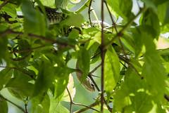 110606 Ribbon snake in a tree (tulak56) Tags: 2011 ontario cootesparadise dundas snake