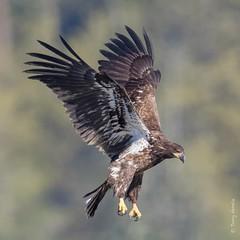 Bald eagle (Haliaeetus leucocephalus) (Tony Varela Photography) Tags: eagle baldeagle baea haliaeetusleucocephalus canon photographertonyvarela eagleflight