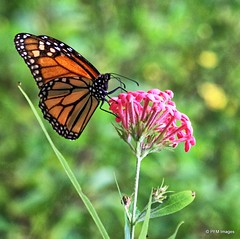 The Monarch Butterfly (pandt) Tags: butterfly monarch sunkengardens wanderer pollinate nature outdoors botanical garden flower milkweed green orange pink black white flickr canon eos rebel t1i life beauty beautiful