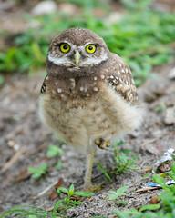 """Bright Eyed and Bushy Tailed"" (Sal Sciarrino) Tags: owls wildflorida wildlife florida nature conservationphotography ngc birds nikon nikond7100"