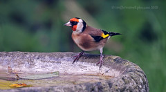 Bright spark! (Ian A Photography) Tags: birds birdwatch britishbirds finches gardenbirds goldfinch nature nikon ukbirds ukwildlife wildlife goldwildlife