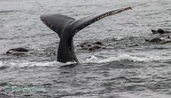 IMG_8343 (b_bev) Tags: montereybay monterey bay california usa wildlife sealife whales dolphins pelicans seals birdlife nature ocean sea
