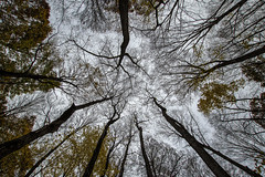 Looking up..... (Kevin Povenz Thanks for all the views and comments) Tags: 2018 november kevinpovenz westmichigan michigan ottawa ottawacounty ottawacountyparks grandravinesnorth tress outsode outdoors nature lookingup canon7dmarkii branches woods forest woodland leaves gloomy